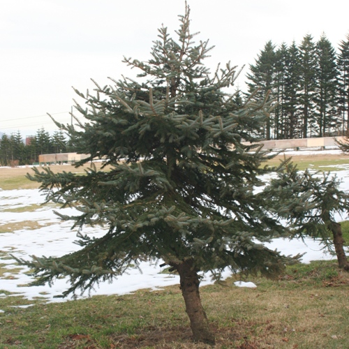 20141128もみの木