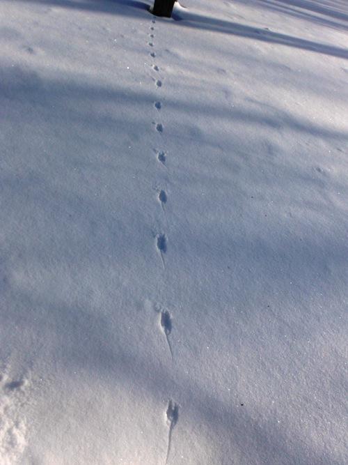 アカネズミ足跡