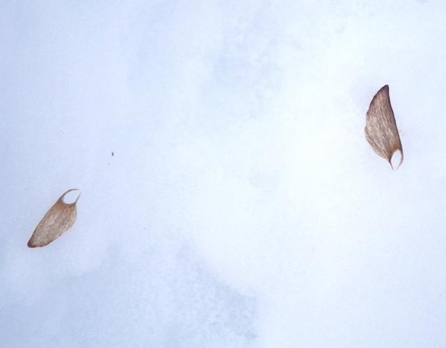 アカマツ種子の翼