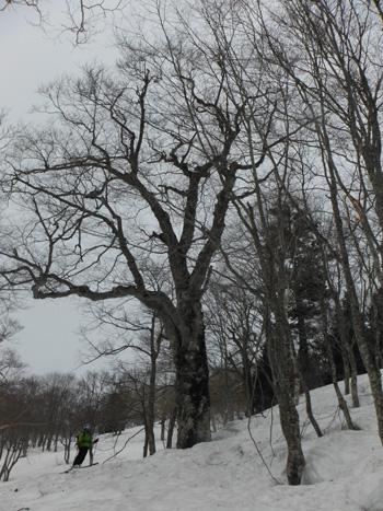 ブナの巨木DSCF5225