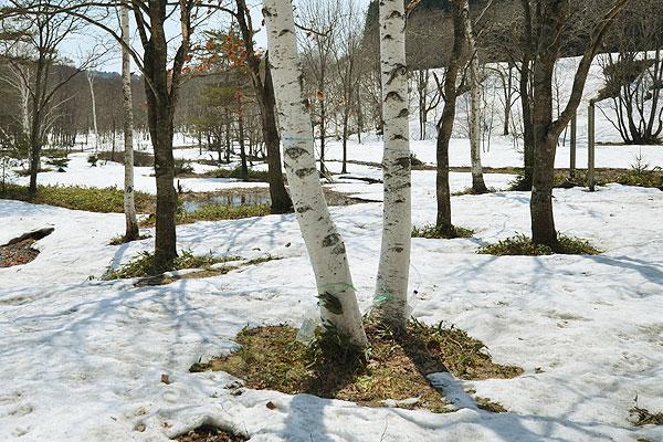 雪解けの白樺