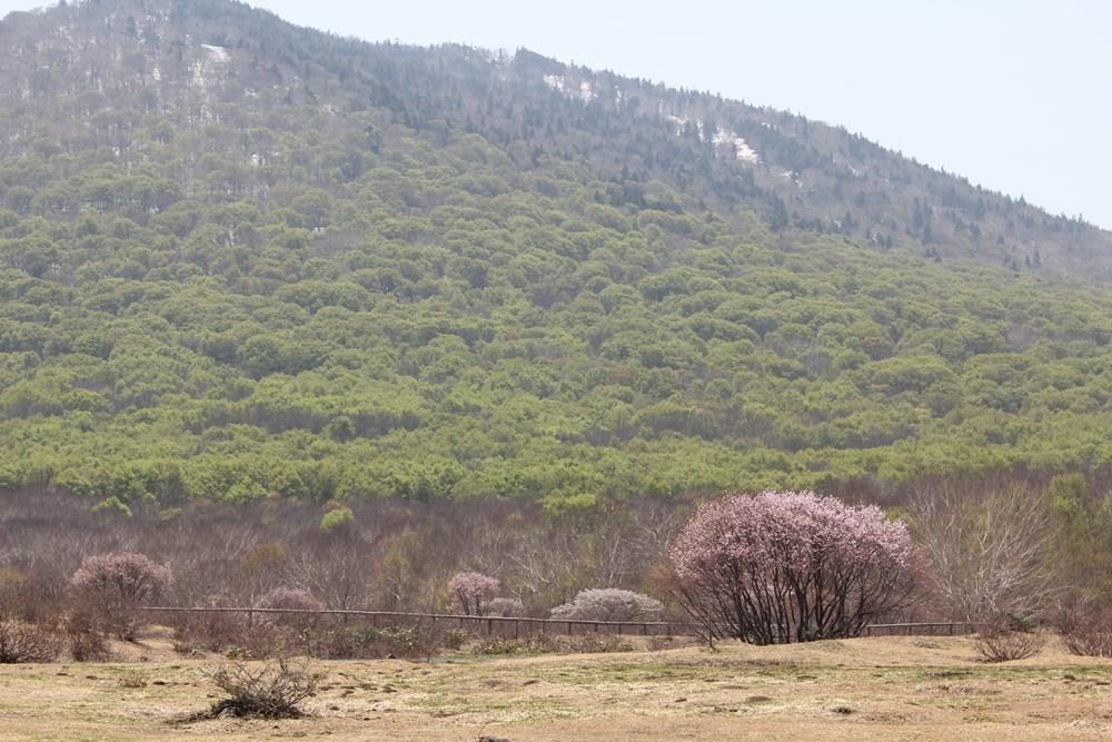 新緑と満開桜