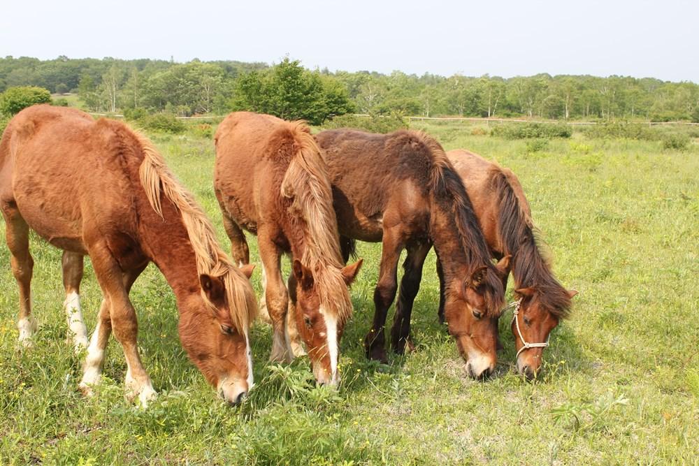 草を食べる4頭の馬