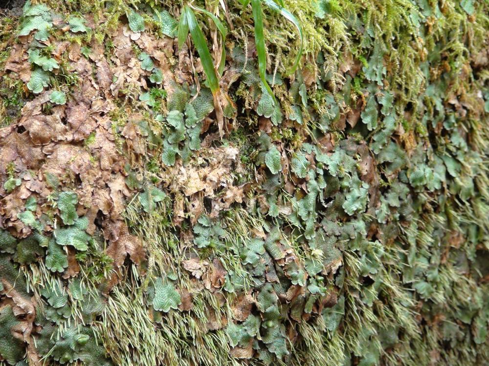 色んな苔が見えてきます。じゃごけ