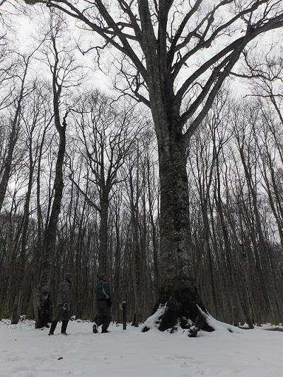 ブナの巨木DSCF5686